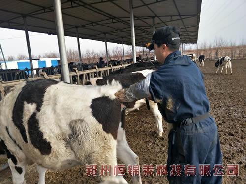 高清牛用B超仪测奶牛